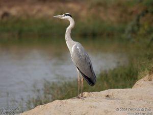 HERONS ET CIGOGNES AU LAC DU DER: Lieu magique pour l'observation des oiseaux.