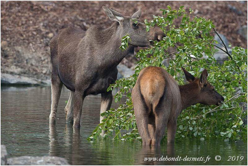 Le mot Elk peut désigner à la fois l'élan ou le wapiti selon l'endroit. Une femelle élan et une biche wapiti à PairiDaiza (Belgique) Un mâle Wapiti à la Réserve de la Haute Touche (Obterre, Indre)