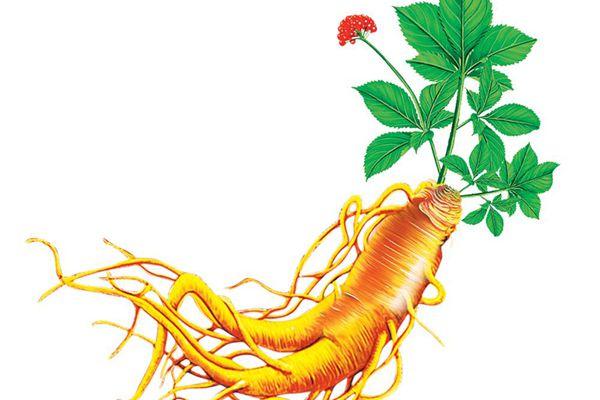 Tác dụng của Panax Ginseng đối với sức khỏe gồm những gì?