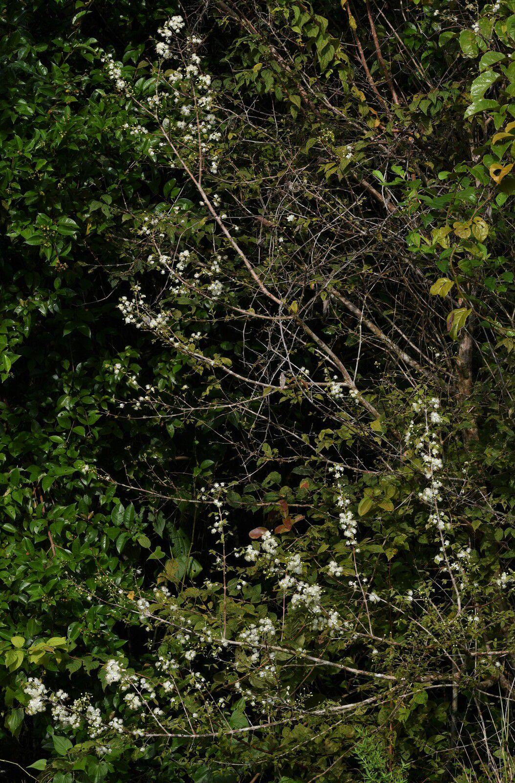 Campomanesia aromatica (bois-citronnelle)