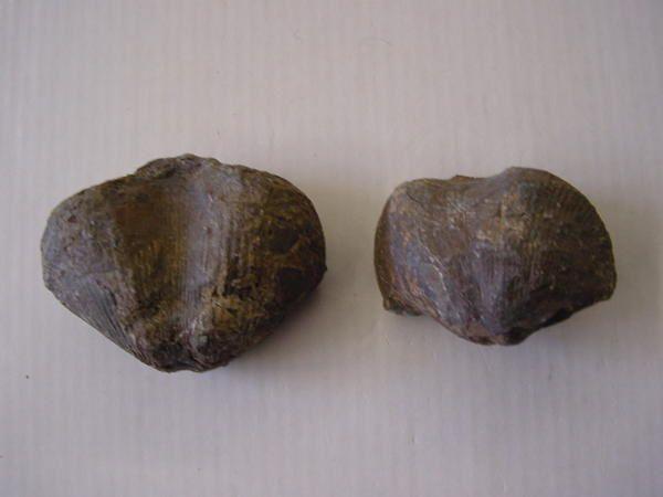 """<p>Contrairement à ce que de nombreuses personnes pensent, les brachiopodes ne sont pas des mollusques. Ces organismes sont plus proches des vers.</p> <p>Très courants au Paléozoïque et Mésozoïque, les brachiopodes se raréfient après le Crétacé.</p> <p>Toutes ces pièces font partie de ma collection.</p> <p>Bonne visite !</p> <p>Phil """"Fossil""""</p>"""