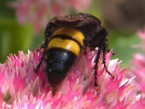 """La scolie hirsute """"Scolia hirta"""" sur sedums spectabile - 29 septembre - guêpes solitaires de la famille des Scoliidae."""