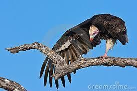 Le vautour à tête blanche