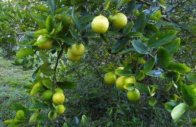 Mes petits citrons si bons