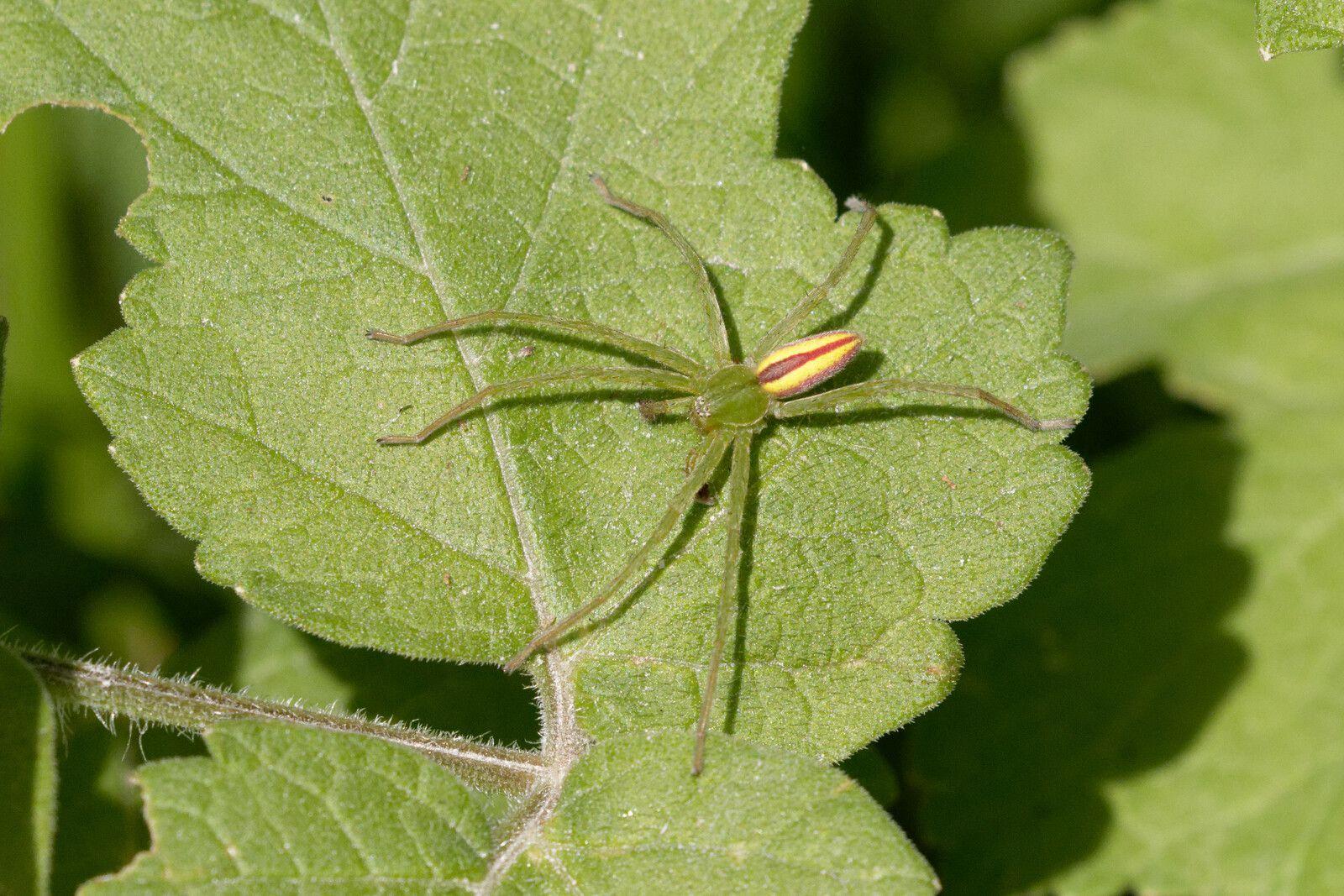 Micrommate émeraude (Micrommata virescens)