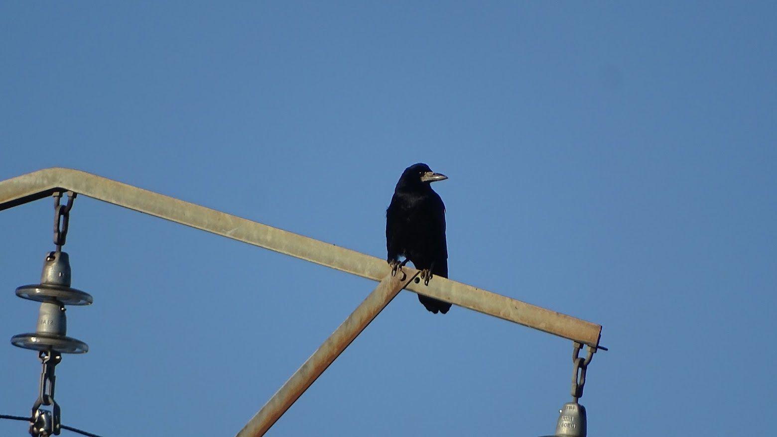 Très souvent confondu avec la corneille noire, le corbeau freux se différencie pourtant de celle-ci, par son bec pointu, blanchâtre, et dépourvu de plumes, contrairement à celui de la corneille qui est entièrement noir… Photos : JLS (Cliquez pour agrandir)