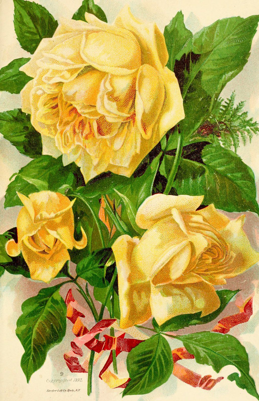 "Image extraite de "" Roses and rose culture Stecher Lithographic Co. Rochester N-Y  "" de 1892"