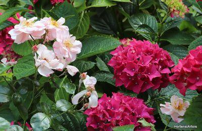 Association avec des hydrangeas (jardin HortensiArtois juillet 2019)