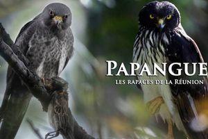 Le papangue, oiseau de légendes réunionnaises, menacé d'extinction