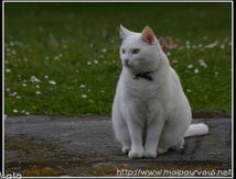 Le chat blanc Timmy ...