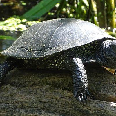 Cistude, la tortue d'eau douce dans ''Nos Amis sauvages''