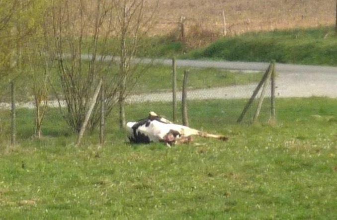 Après 9 mois de gestation, la vache s'est couchée et va donner naissance au veau.