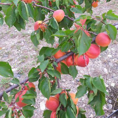 La saison d'abricot 2021 va bientôt débuter !