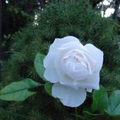 Mes rosiers ..... - Lejardinleclosfleuridansladrôme.com