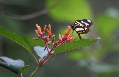 Heliconius ethilla narcaea