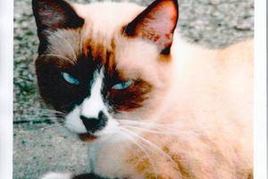 RETROUVEE - SIAM - chatte siamoise - WONCHE - Baie Mahault