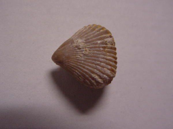 <p> Paradis des paléontologues, la Bretagne et la Normandie offrent de très nombreux fossiles, datés du Cambrien au Pliocène. </p> <p> Les systèmes les mieux représentés sont l'Ordovicien, le Jurassique et le Crétacé. </p>
