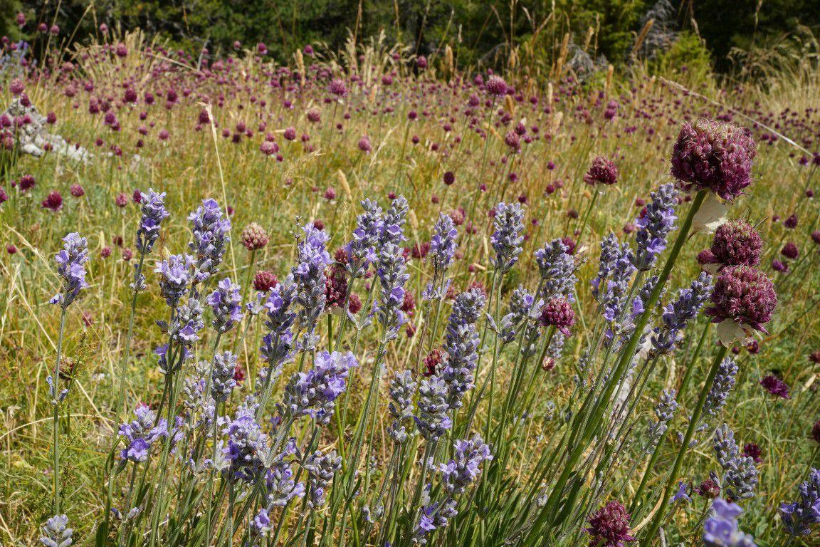 la flore aux bien-nommé Prés, sur le versant sud-est de la montagne Durbonas, lavande, ail à tête ronde, chardon bleu...