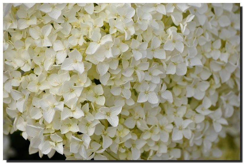 De la couleur, les hortensias
