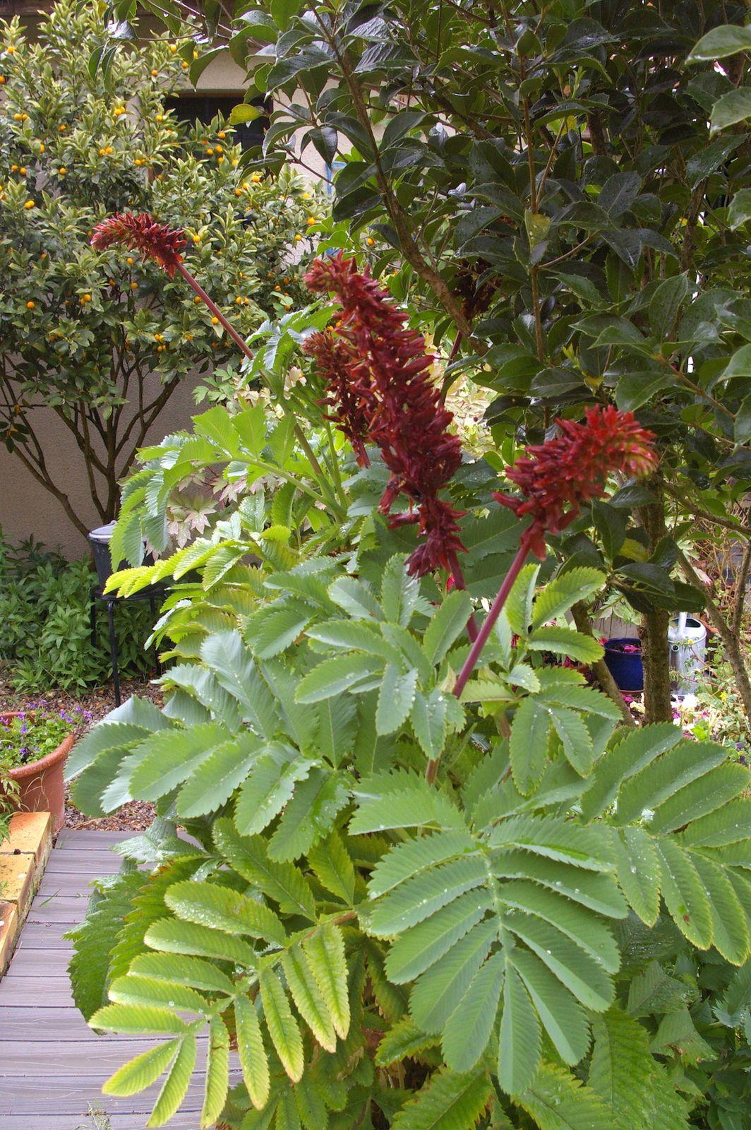 Les fleurs de Melianthus major