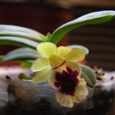 Photos d'orchidées miniatures