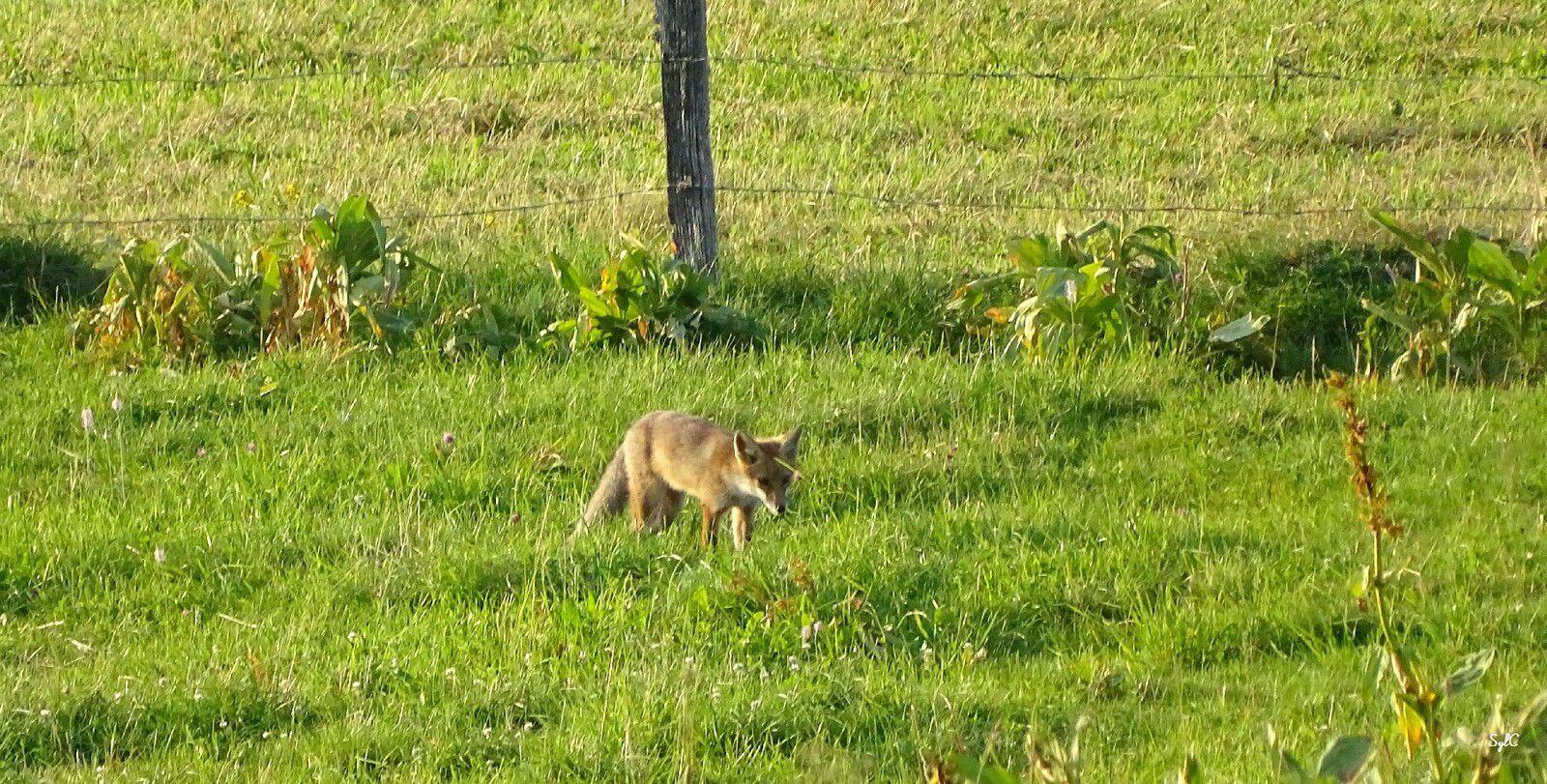 Quelques renards croisés ces jours-ci - 7 photos