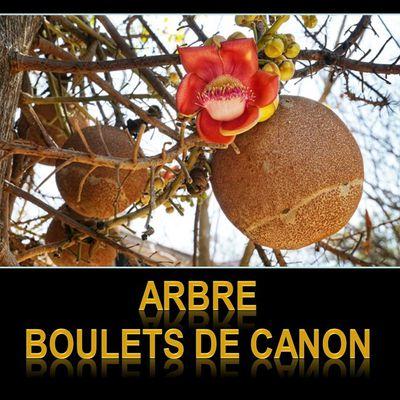 """Fleurs et Plantes - """"les boulets de canon"""""""