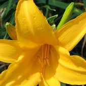 Plant Story--Daylilies, From Asia, Beautiful and Not Lilies