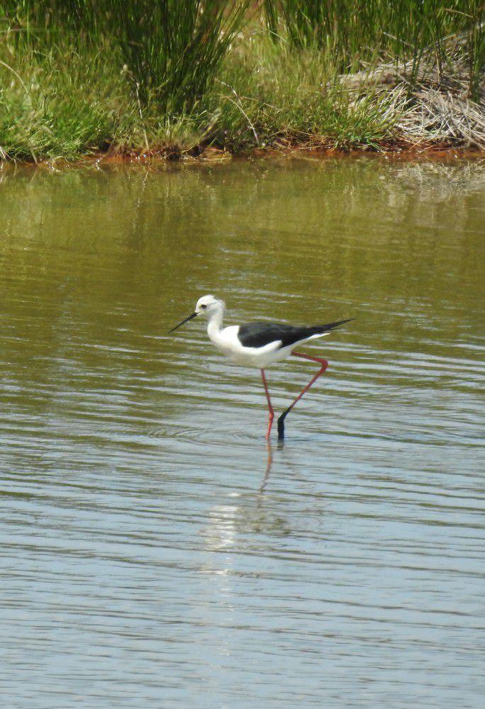 Echasses blanches au Teich...