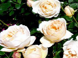 Rosier 'Jude l'obscure', un ton très doux, apaisant pour une rose qui a bien résisté aux pluies,