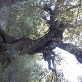 Un chêne remarquable - Autour de