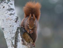 écureuil en hiver au jardin