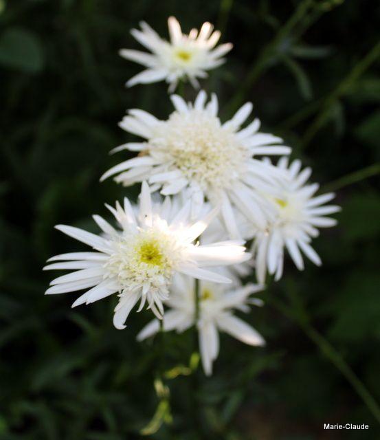 Marguerite, Marguerite ...
