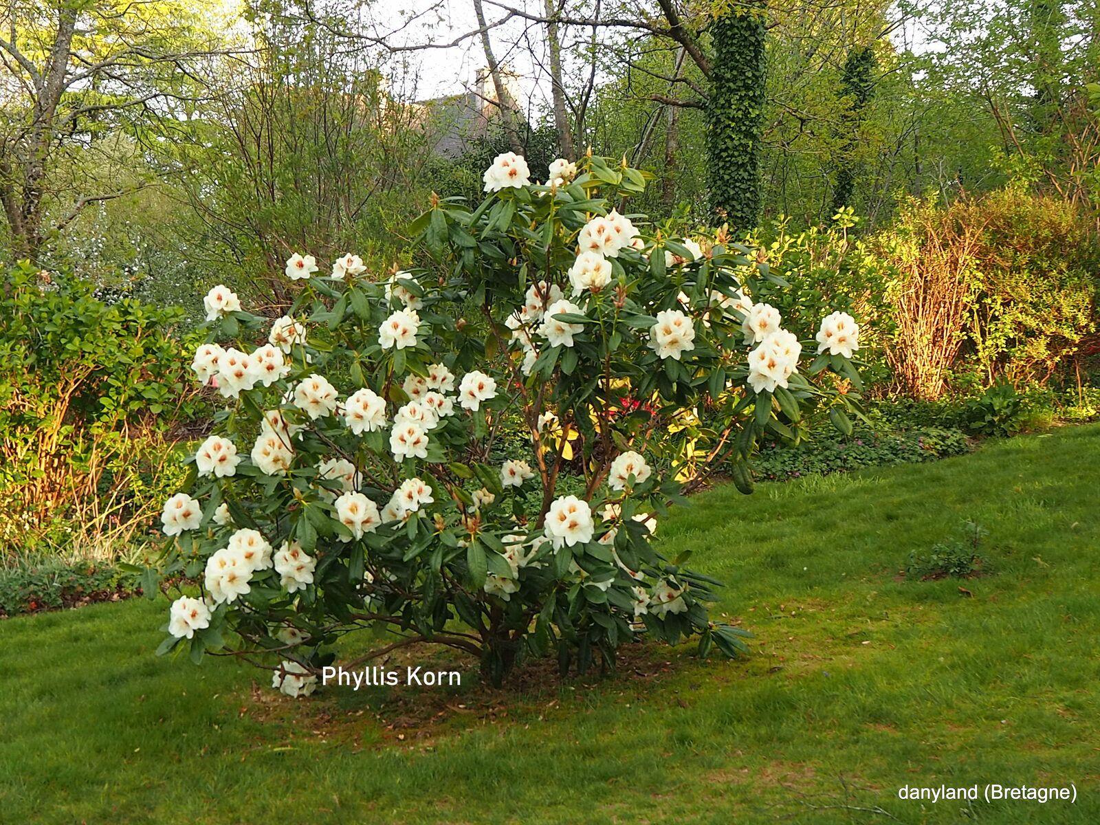 superbe rhodo mais pour grand jardin , à planter en isolé ....