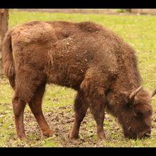 Parque nacional de Bialowieza - Bisontes europeos