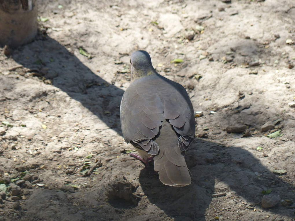 Colombe de Verreaux - Leptotila verreauxi - White-tipped Dove