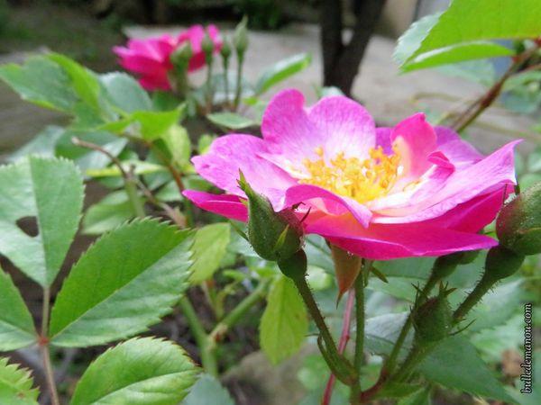 """Mes roses...la première est celle d'un mini-rosier, les suivantes, celles d'un rosier """"sauvage"""" cultivé"""