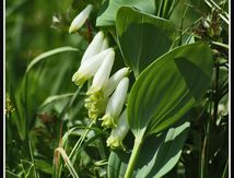 Sceau de Salomon ou Polygonatum