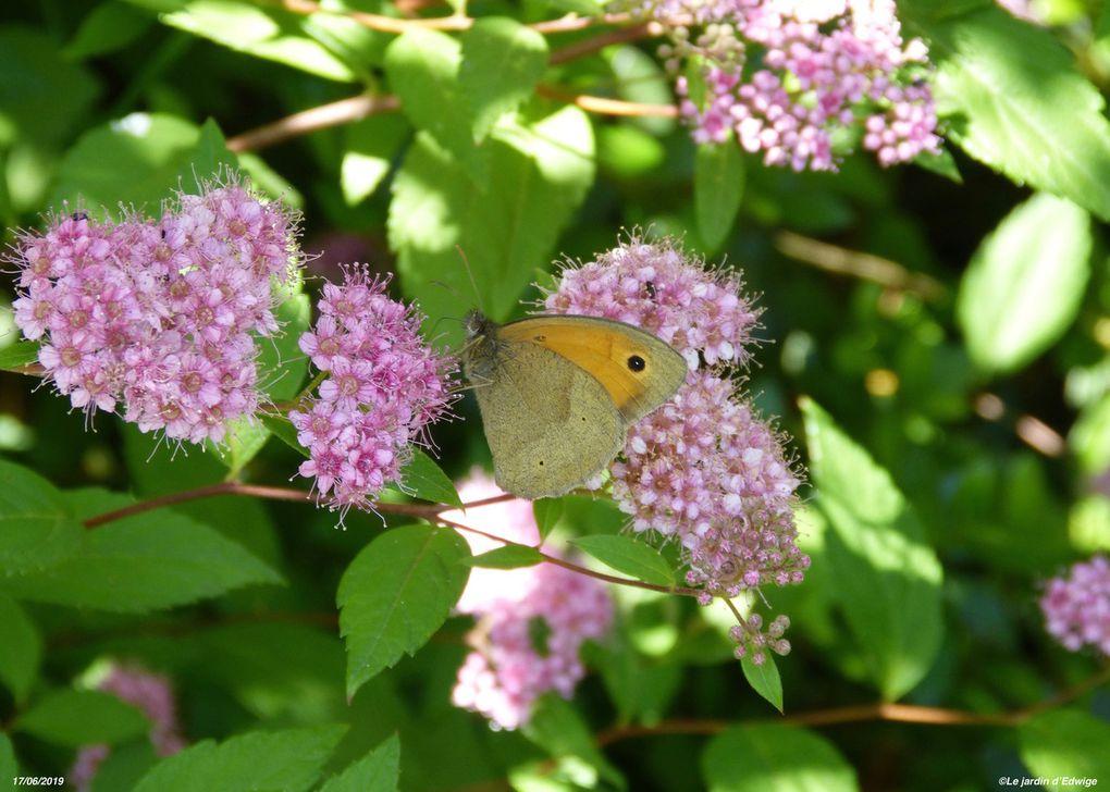 Spirée du Japon - spiraea  japonica