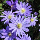 Anemone blanda 'Blue Shades' - Anémone de Grèce
