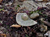 Trois autres gastéropodes de petite taille, avec des coquilles différentes ...