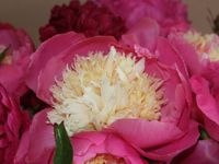 Only Paeonia.