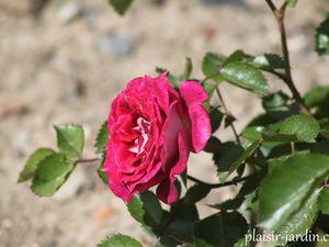 Le rosier Let's celebrate