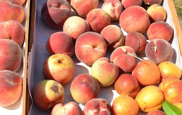 Petite récolte de pêches et d'abricots du jour