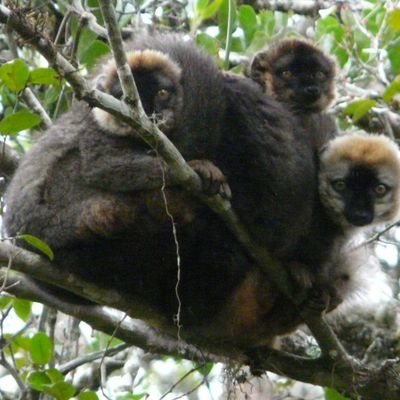 The Ankazomivady Forest in Madagascar and its Lemurs