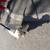 Astra, futur chienne guide d'aveugle ?