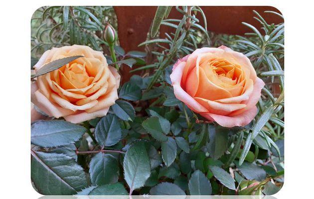 Conserver un mini rosier