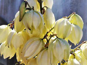 Au fond du jardin le yuka était en fleur