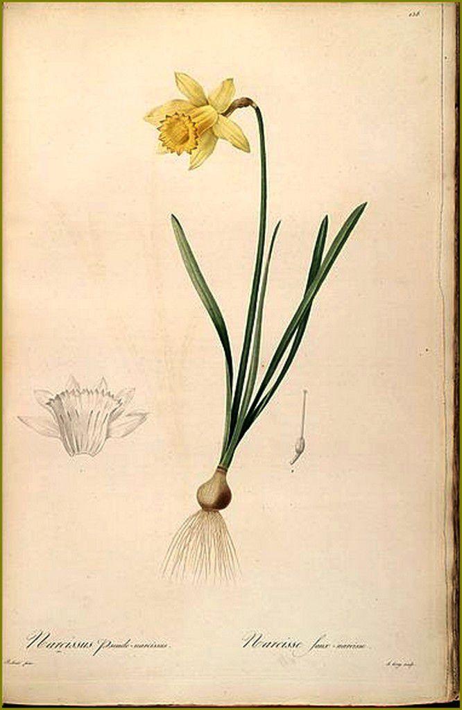 Pierre-Joseph Redouté (1759-1840) - Narcissus pseudonarcissus 1802