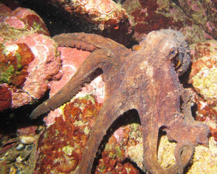 Les petits crabes verts des rochers, (favouille en Provençal) et le confinement. Galéjade